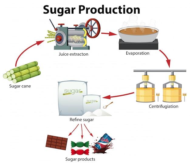 A sugar production diagram
