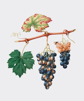 Summer grape from pomona italiana (1817 - 1839) illustration
