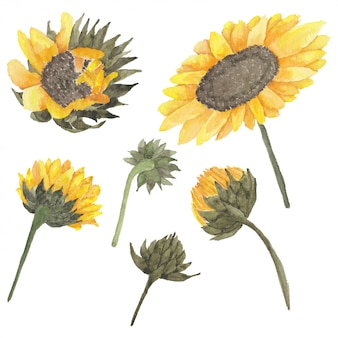 Sunflower bud illustration in watercolor style