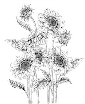 Sunflower drawings illustration