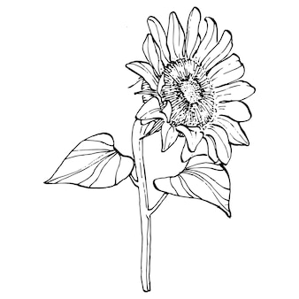 Sunflower flower. floral botanical flower. isolated illustration element.   hand drawing wildflower for background, texture, wrapper pattern, frame or border.