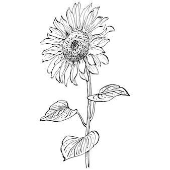 Цветок подсолнуха. ботанический цветочный цветок. изолированный элемент иллюстрации. рука рисунок полевой цветок