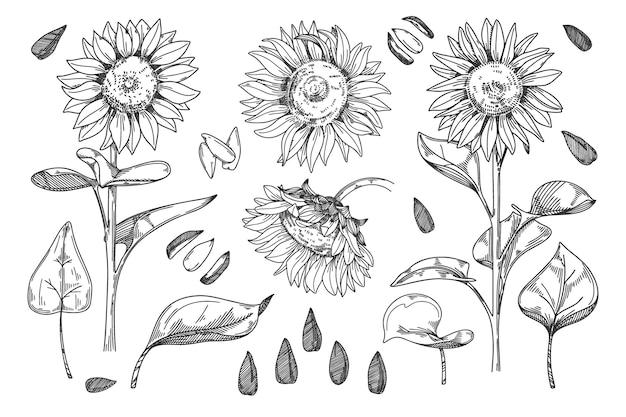 ひまわり。穀物の種子、茎、花ひまわりのつぼみ、葉と花のイラスト。スケッチヘリアンサスアウトライン花インクペン。ワイルドフラワーフリーハンドスケッチ白い背景上に描画