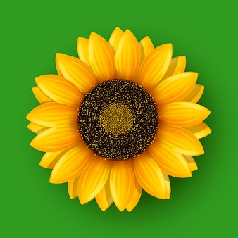 Sunflower on green
