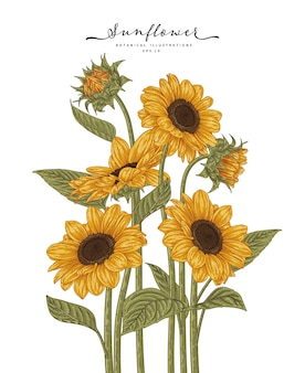 Sunflower  highly-detailed drawings