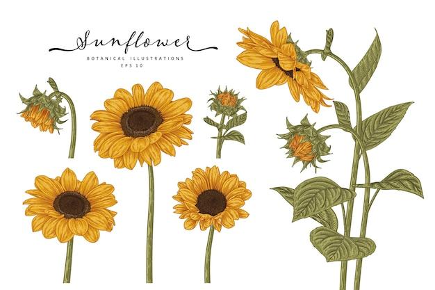 Sunflower highly detailed line art