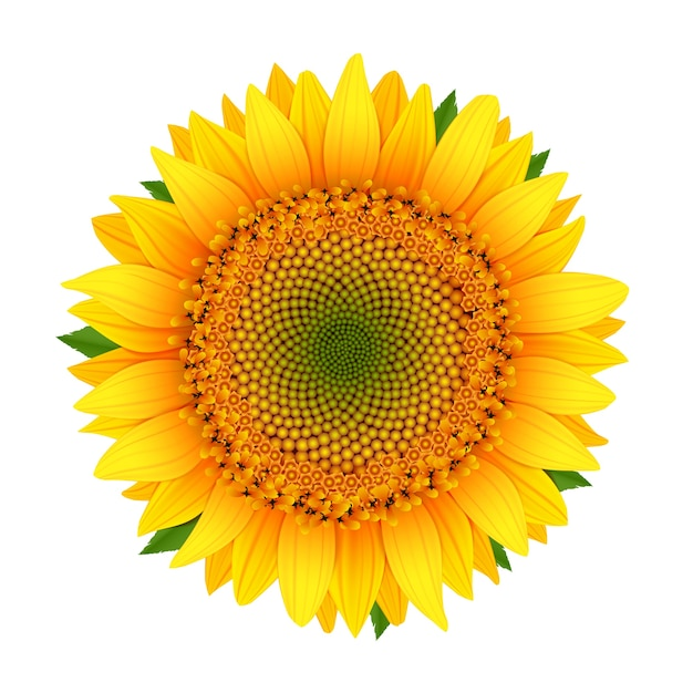 sunflower vectors photos and psd files free download rh freepik com sunflower vector free download sunflower vector art