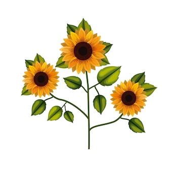 Sunflower plant in white background