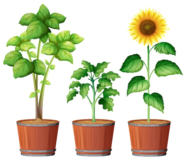 Sunflower planting in the pot