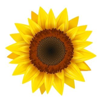 해바라기 현실적인 아이콘 벡터 절연입니다. 여름을 위한 노란 해바라기 꽃 자연 꽃 삽화.