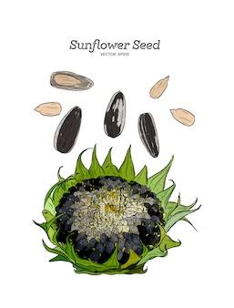 Sunflower seed, hand drawn sketch.