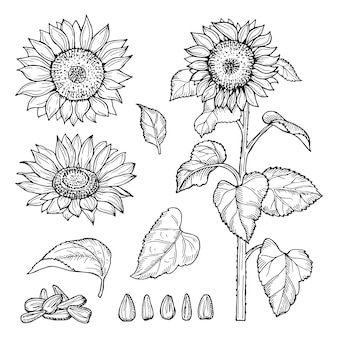 Sunflower sketch.  seeds, blooming flowers collection