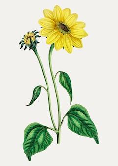 Sunflower trumpet stalked