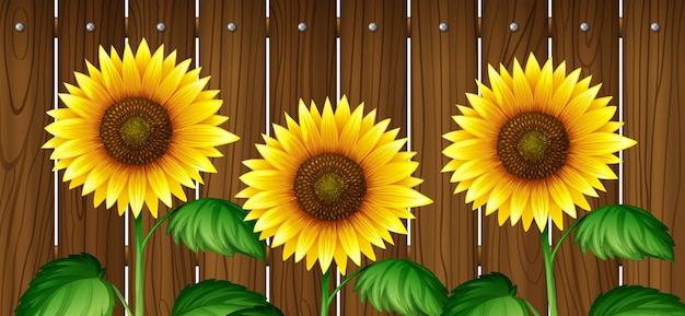 Sunflowers in front of wooden fence