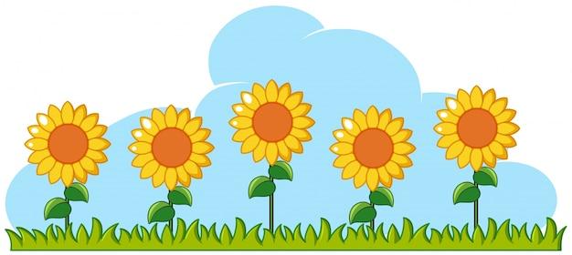 Sunflowers in garden on white background