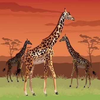Закат африканская сцена пейзаж с жирафами стоя