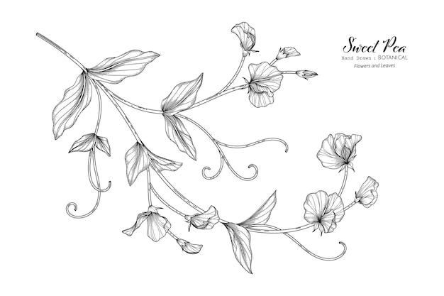 완두콩 꽃과 잎 손으로 그린 식물 삽화가 라인 아트로 그려져 있습니다.