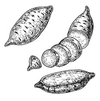 고구마 손으로 그린 그림입니다. 야채 새겨진 스타일 개체. 자세한 채식 음식 그림. 농산물 시장 제품. 부엌 야채.