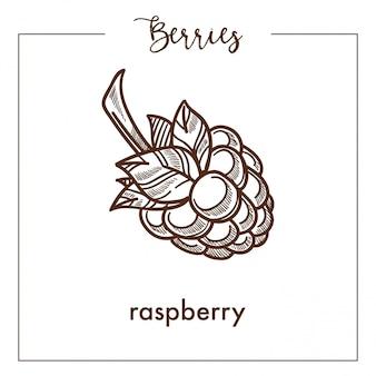 Sweet ripe delicious raspberry monochrome berry sepia sketch