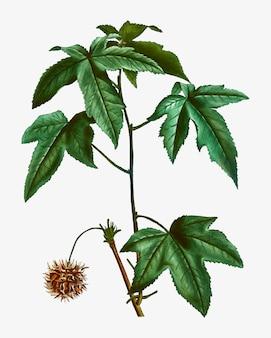 Sweetgum tree branch