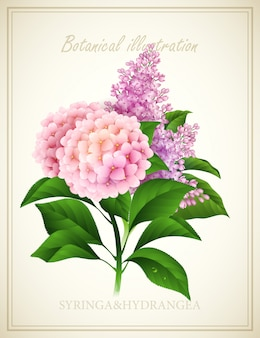 Syringa and hydrangea. botanical vector illustration