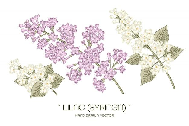 Syringa vulgaris common lilac flower drawings