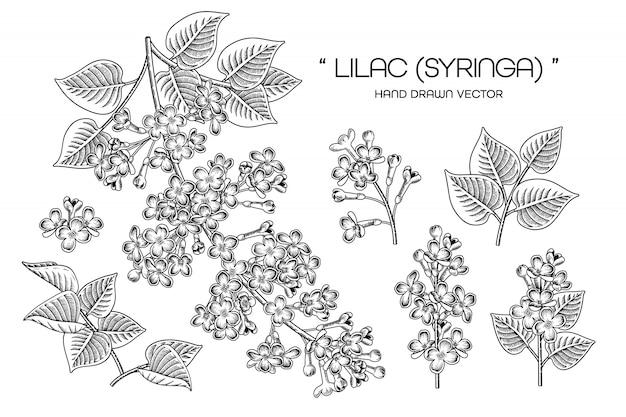 Syringa vulgaris一般的なライラックの花の絵