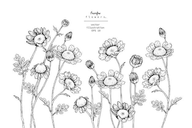 Tanacetum feverfew flower drawings.