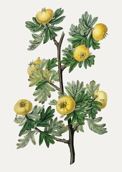 Tansy-leaved thorn