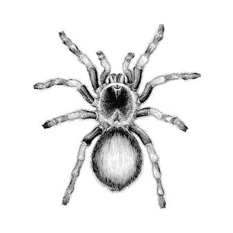 Рука паука тарантула рисуя винтажную иллюстрацию гравировки,