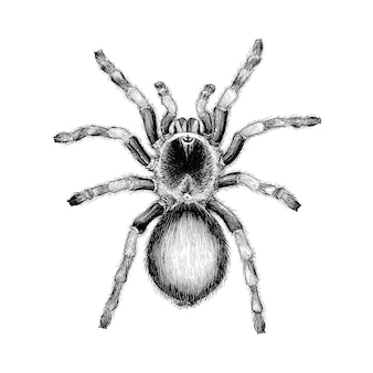 Tarantula spider hand drawing vintage engraving illustration,