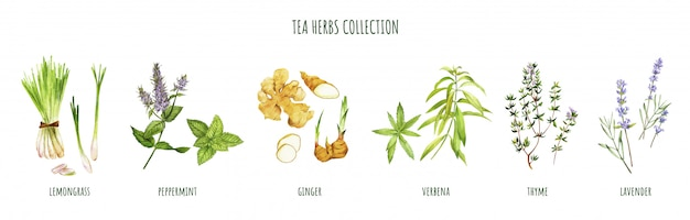 Tea herbs including peppermint and verbena, hand drawn