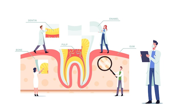 Teeth anatomy and structure concept with tiny dentists doctors characters at huge tooth infographics with gum, pulp, bone, dentine or enamel parts, medic aid poster. cartoon people vector illustration