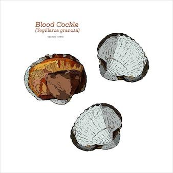 新鮮な血のコックルまたは血紋(tegillarca granosa)、手描きのスケッチベクトル。