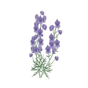 柔らかいトリカブトまたは僧侶の花と白い背景に手描きの葉