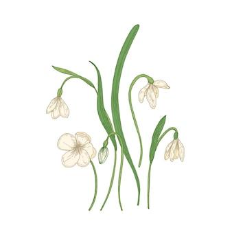 Нежные цветы подснежника, изолированные на белом фоне.