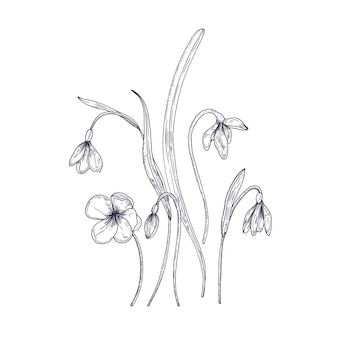 Tender snowdrop flowers isolated on white background