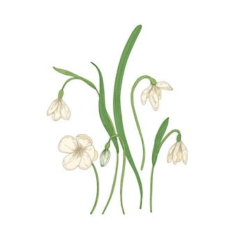 Tender snowdrop flowers isolated on white background.
