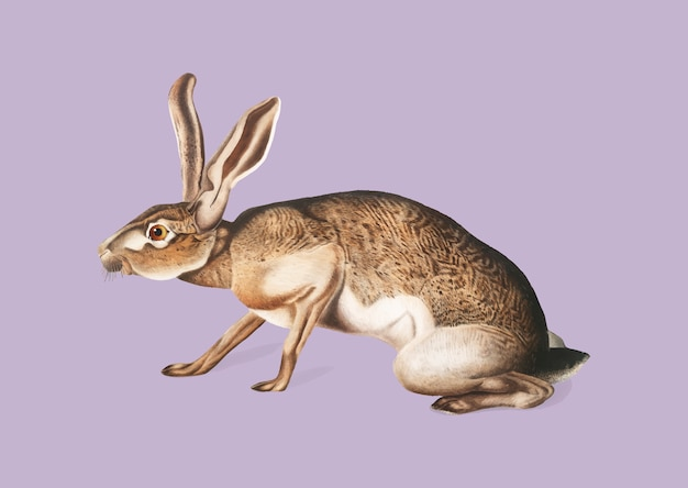 Texian hare illustration