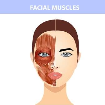 女性の顔と首の筋肉、顔の筋肉の半分、皮膚の半分の構造。