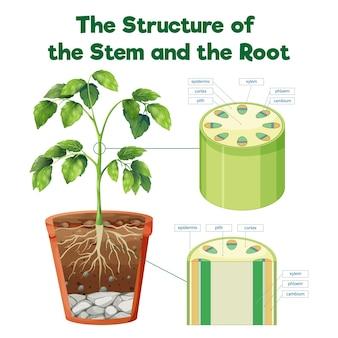 茎と根の構造