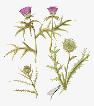 Thistle and artichoke