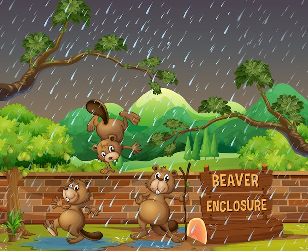 Three beavers in the zoo on the rainny day