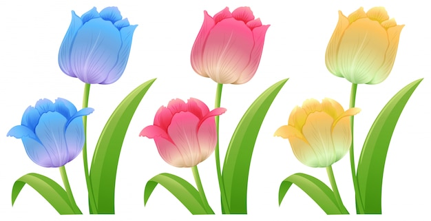 Three different colors of tulips