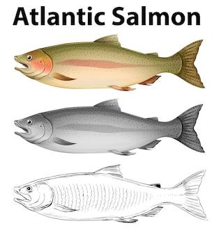 Three drawing styles of atlantic salmon illustration