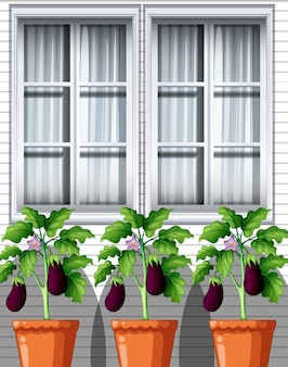 Three eggplants plants in pots on window background