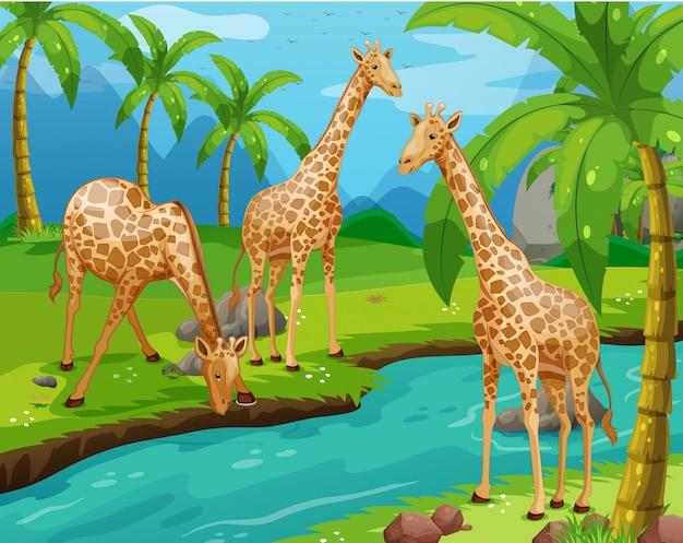 Three giraffes drinking water