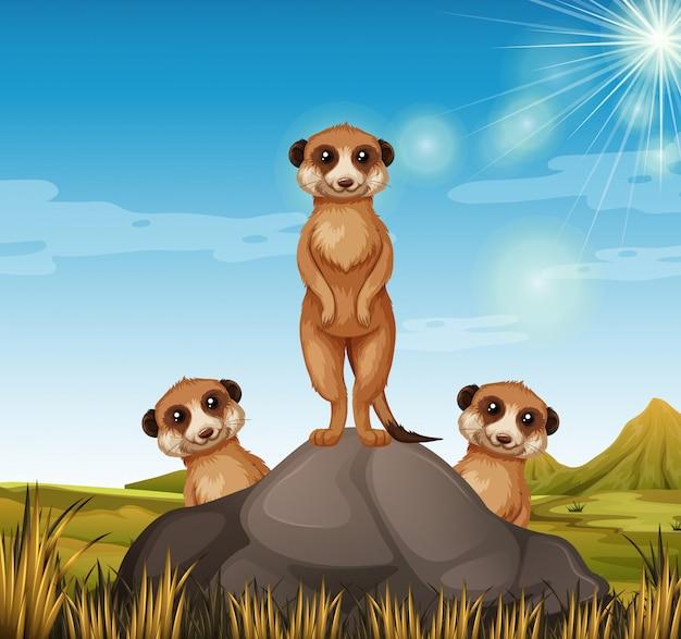 Three meerkats standing on the rock