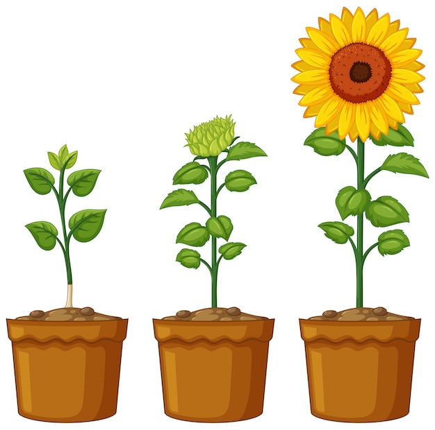 ヒマワリ植物の3つの鉢