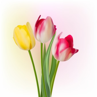 Three tulips  on white background.